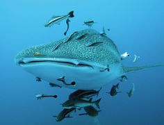 A female whale shark with her young. The season for swimming with whale sharks is from June to September in the state of Quintana Roo