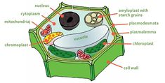 Describes what a vegetable is and how it is formed on the plant. Includes cells and cellular structure, chemical composition, respiration, storage life, flavour and quality. Teaching Math, Maths, Plant Tissue, Baby Fruit, Plant Cell, Inside Plants, Cell Wall, Photosynthesis, Physiology