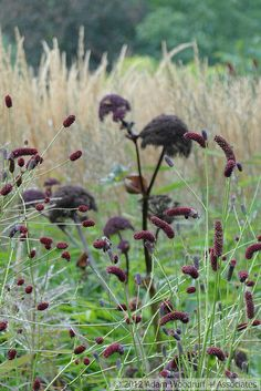 Oudolf - Angelica gigas, Sanguisorba officinalis,Calamagrostis x acutiflora 'Karl Foerster'