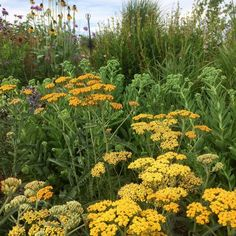 Achillea 'Inca Gold' and Sedum 'Autumn Joy' David Kennedy, Alpine Garden, Achillea, Rare Plants, Garden Inspiration, Perennials, Planting Flowers, Greenery, Artworks