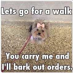More On Yorkshire Terrier Haircut Shorts Funny Animal Pictures, Dog Pictures, Funny Animals, Cute Animals, Yorkies, Yorkie Puppy, Teacup Yorkie, Morkie Puppies, Poodle Puppies