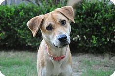 Pictures of MAYBELLINE a Black Mouth Cur for adoption in Leland, MS who needs a loving home. Black Mouth Cur, Maybelline, Pet Adoption, Labrador Retriever, Ms, Pictures, Animals, Labrador Retrievers, Photos