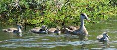 Netta rufina, pato colorado A finales de mayo la hembra protege a sus crías.