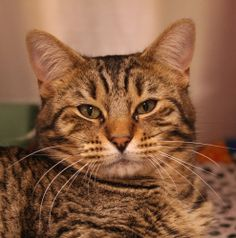 Aiken SPCA, Aiken, SC     803-648-6863     Goliath is an adoptable Domestic Short Hair Cat in Aiken, SC. SPCA Requirements for Adoption 1. Most of our dogs will require a fenced in yard to allow them to play safely outdoors. 2. If you have oth...