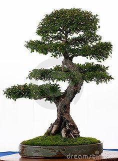 RP: Chinese Elm (Ulmus Parvifolia)