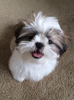 """He doesn't LOOK quite like an Asgardian prince; and where the heck is Mjölnir? Ah, just details. """"This is our new Shih Tzu puppy Thor, and he is mighty cute. Thanks for considering our …"""