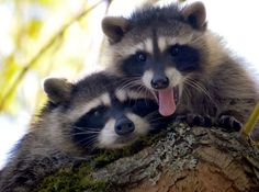 Racoons!