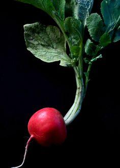 Redzenradish Photography — Self-Portrait As A Radish Vegetables Photography, Fruit Photography, Still Life Photography, Fruit And Veg, Fruits And Veggies, Cooking Ingredients, Jolie Photo, Healthy Fruits, Edible Garden