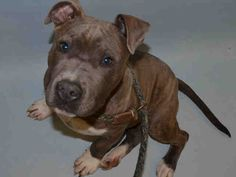 Safe 11/1 ●●●Manhattan Center TRISTON – A1056183  MALE, BR MERLE / WHITE, PIT BULL MIX, 6 mos STRAY – STRAY WAIT, NO HOLD Reason STRAY Intake condition EXAM REQ Intake Date 10/27/2015, From NY 10453, DueOut Date 10/30/2015,