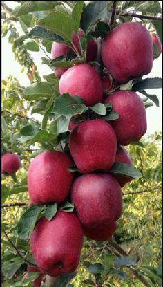 49 Fruit to Bumper Harvest in Autumn for Thanksgiving Apple Fruit, Fruit And Veg, Fruits And Veggies, Fresh Fruit, Vegetables, Fruit Plants, Fruit Garden, Fruit Trees, Beautiful Fruits