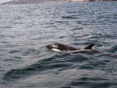 JORNAL O RESUMO - SHOW NO MAR JORNAL O RESUMO: Orcas aparecem para turistas em Arraial do Cabo