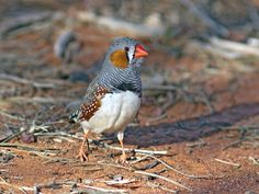 The Age of Humans Birds Sing to Their Eggs, and This Song Might Help Their Babies Survive Climate Change Embryonic learning—things birds pick up from their parents while still in the egg—may play a bigger role than imagined. | A male zebra finch. (Graeme Chapman)