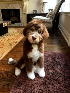Dog Breeds The 7 Puppy Stages- Aussiedoodle and Labradoodle Puppies Chien Goldendoodle, Labradoodle Breeders, Australian Labradoodle Puppies, Bernedoodle Puppy, Labradoodles, Goldendoodles, Cockapoo, Austrailian Labradoodle, Goldendoodle Grooming