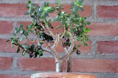 With Jade plants (and other succulents), go easy on watering