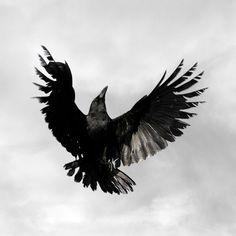 Crow  Bird Photography Art Print 6 x 6 Fine Art by susieloucks, $25.00