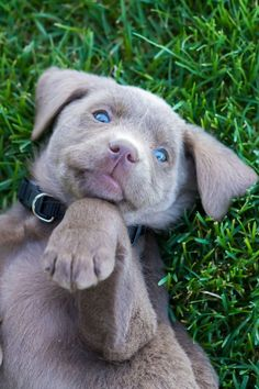 Silver Lab puppy looking playful
