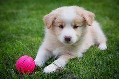 Border Collie / Puppy