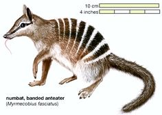 free Numbat coloring page Aussie 12 days of xmas Pinterest