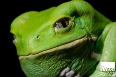 the waxy monkey frog