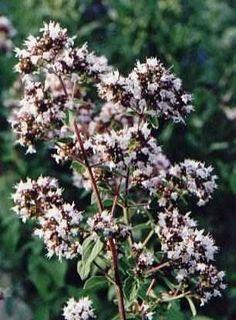 Tijm.........  Planten in de tuin zetten die slakken door hun sterke geur op afstand houden   == Oostindische kers (Tropaeolum majus)   == Hysop(Hyssopus officinalis)   == Salie(Salvia officinalis)   == Tijm(Thymus officinalis)   == Tomaat(Lycopersicon)   == Teentjes knoflook