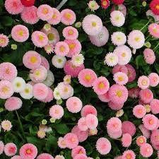 Bellis Perennis - Tusenfryd Bellis Perennis, Floral Wreath, Wreaths, Plants, Home Decor, Floral Crown, Decoration Home, Door Wreaths, Room Decor