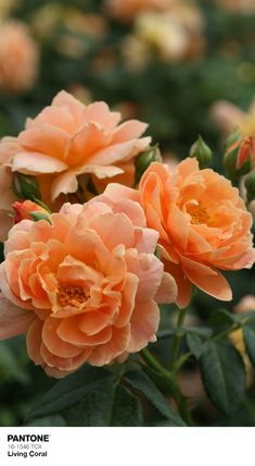 At Last Rose Bush 4 pot Fragrant disease-resistant rose! Proven Winners At Last Rose Bush 4 pot Frag Exotic Flowers, Orange Flowers, Beautiful Flowers, Rose Flowers, Floribunda Roses, Shrub Roses, Fragrant Roses, Ground Cover Roses, Landscaping With Roses