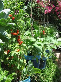 Growing Food in Suspended Growing Buckets