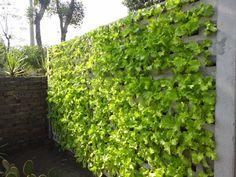 Wall of lettuce plants.