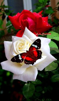 Beautiful Rose Flowers, Love Rose, Flowers Nature, Exotic Flowers, Beautiful Butterflies, Amazing Flowers, Pink Flowers, Beautiful Flowers, Rose Flower Wallpaper