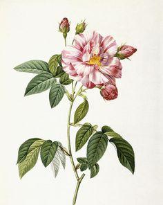 Rosa Gallica Versicolor Print By Pierre Joseph Redoute