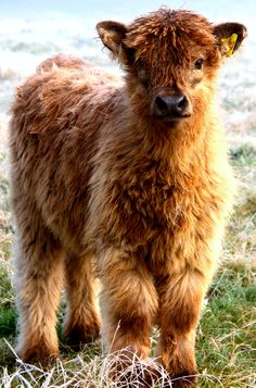 Young Highland Heifer www.ennerdalehighlands.com