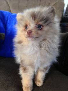 The traits we respect about the Pomeranian All About Pomeranian Puppy Teacup Puppies, Chihuahua Puppies, Cute Puppies, Cute Dogs, Dogs And Puppies, Doggies, Merle Pomeranian, Cute Pomeranian, Singapura