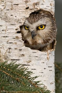 Northern Saw-Whet Owl; photo by Mike Lentz