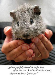 guinea pig - beginner's care guide