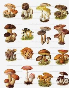 Image shared by forgive me. Find images and videos about mushrooms on We Heart It - the app to get lost in what you love. Growing Mushrooms, Wild Mushrooms, Stuffed Mushrooms, Mushroom Art, Mushroom Fungi, Botanical Illustration, Botanical Prints, Mushroom Tattoos, Food Illustrations
