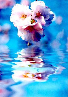 sakura and blue