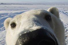 #cute polar bear