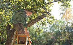 Fruit of your labour: pruning can be the cause of apple tree problems, but it can also provide the cure