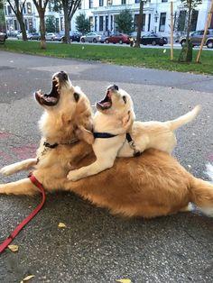Like Father, Like Son http://cheezburger.com/8983933184/like-father-like-son-dogs