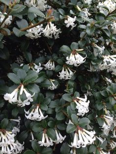 Osmanthus burkwoodii. Evergreen, compact shrub. Scented flowers in April.