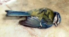 look at this little sweetheart.  Im attracted to the tenderness in this one.  Also its one of the few downward facing poses that could work.  I generally favor the feet up pose- but this has something going for it.  the sweep of the wing or perhaps its angle relative to the tail feathers.