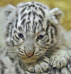 White tiger cub
