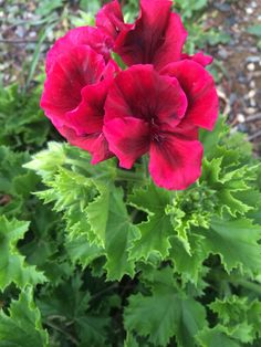 Mijn lievelings #geranium staat in bloei! #maart #tuin