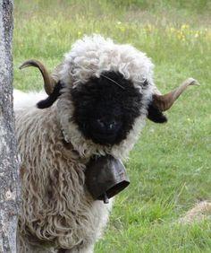 #schaf #sheep