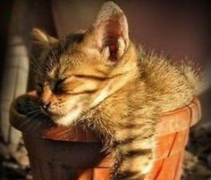 PetsLady's Pick: Funny Potted Cat Of The Day  ... see more at PetsLady.com ... The FUN site for Animal Lovers