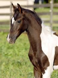 Image result for pinto horse