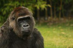 Gorila. Velocidad: 1/160 Diafragma: 5.6 Iso: 400