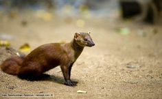 A northern ring-tailed mongoose - Part of the Eupleridae family which are carnivores from Madagasca including the Fossa.