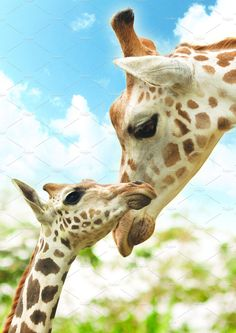 Giraffe Mother And Baby Pictures - Potrait Mother And Baby Giraffe High Masai Giraffe, Giraffe Art, Cute Giraffe, Baby Giraffe Pictures, Baby Pictures, Wildlife Photography, Animal Photography, Beautiful Creatures, Animals Beautiful