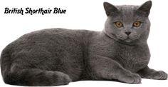 british-blue-short-hair 1